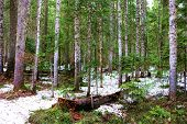 Pine Trees Besides An Alpine Meadow Covered With Snow Taken At A Temperate Forest On Mountainous Ter poster