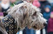 Head Of A Shaggy Wolfhound