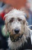 Inquisitive Grey Wolfhound
