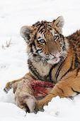 Tigre siberiano pequeño