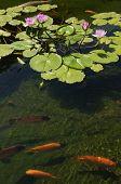 Koi-Karpfen Schwimmen im flachen pool