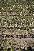 Ripe cotton field