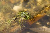 stock photo of suny  - green frog sitting in water in suny day - JPG