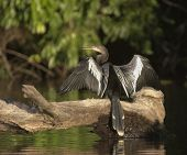 Anhinga-drying