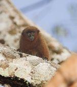 Titi_monkey_sml