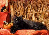 picture of black cat  - Black Main Coon cat in corn field for Halloween - JPG