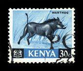 Warthog , Wild Boar
