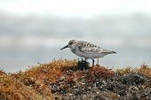 picture of mauri  - A small western sandpiper forages through seaweed on a Padre Island beach - JPG
