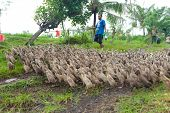 BALI - JANUARY 29. Farmer walking his ducks on January 29, 2012 in Bali, Indonesia. Rice farmers also raise ducks for extra income and their feces provide fertilzer for their fields.