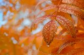 stock photo of mountain-ash  - Raindrops on the golden leaves of mountain ash in the autumn park - JPG
