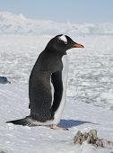 Gentoo Penguin On The Background Of The Frozen Ocean.