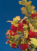 Berries And Blue Sky