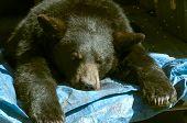 dead black bear