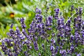 Close up of lavender flowers in garden