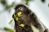 Silverleaf Monkey Feeding On Leaves