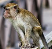 Young Monkey On A Wooden Railing