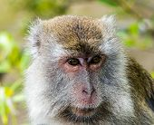 A Wild Long Tailed Macaque Monkey In The Rainforest Of Borneo
