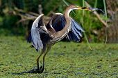 picture of long-legged-birds  - purple heron  - JPG