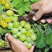 closeup of someone cutting a grape bunch in a vine during the grape harvest