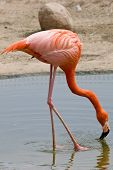 Red Flamingo Is Drinking Water