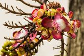 picture of cannonball-flower  - The Flower Of The Couroupita Guianensis  - JPG