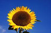 One Closeup Sunflower