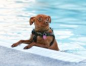 image of miniature pinscher  - a miniature pinscher swimming in a public pool - JPG