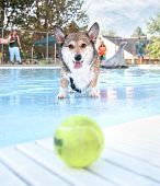 picture of corgi  - a corgi swimming in a public pool - JPG