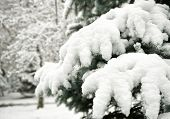 snowy fir tree branches as background