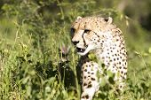 Cheetah Stalk