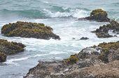 California Sea Lions rest on rocks