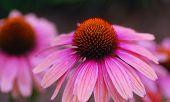 Echinacea Purpurea Pink Coneflower Flower