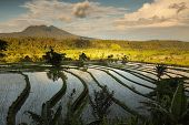 image of rice  - Rice fields of Bali island - JPG