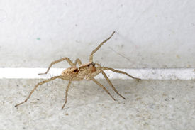 picture of huntsman spider  - Huntsman spider on the floor in the house - JPG