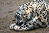 stock photo of panthera uncia  - A snow leopard makes his paws clean - JPG
