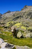 Cow With Mountains In The Gredos,avila,spain