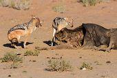stock photo of jackal  - Hungry Black backed jackal eating on a hollow carcass in the dry desert fight with mate - JPG