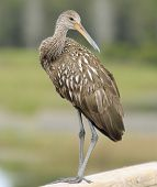 Limpkin Look Back