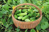 Harvest cucumbers in a basket
