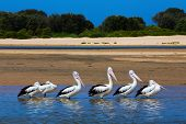 6 Australian Pelicans stand in a line in water