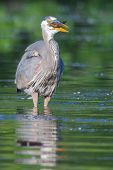 foto of bluegill  - Great Blue Heron fishing in the low lake waters.