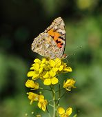 A Painted Lady butterfly (Vanessa cardui) feeding from a brassica flower in Doha, Qatar, Arabia, sho