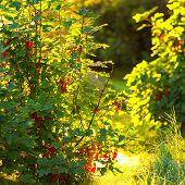 Redcurrant Bush During A Summerday