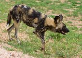 South African Wild Dog