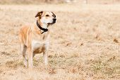 pic of mutts  - Mutt of Labrador and German Shepherd on dry grass - JPG