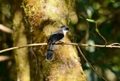 Dark-backed Sebia (malacias Melanoleuca)