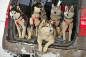 Sled dogs in a car before the racing