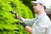 foto of prunes  - Professional gardener pruning an hedge - JPG