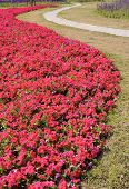 Beautiful petunia flower bed