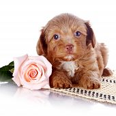 stock photo of fluffy puppy  - Puppy with a rose on a rug - JPG